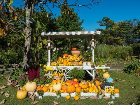 収穫の秋「じんぎすかん白樺」とハロウィンの「紫竹ガーデン」