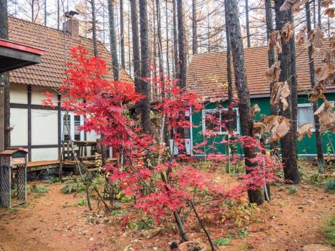 暖かい11月・・初雪はまだ?庭はカラマツの絨毯に!