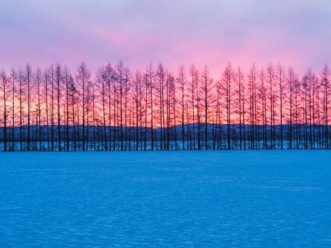 カラマツ防風林のバックは美しい朝焼けの風景。