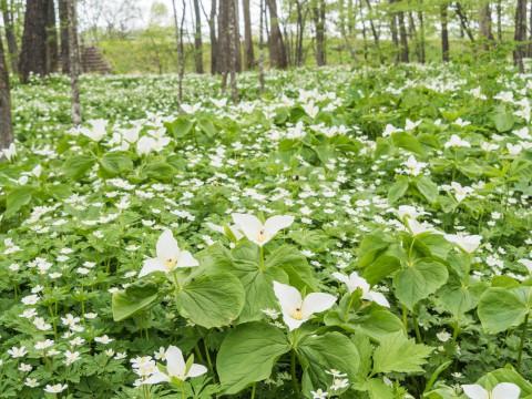 白い花咲く「六花の森」・・オオバナノエンレイソウが満開!