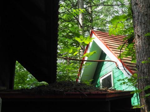 エゾリス君の埋めたクルミが・・なんと屋根の上で発芽!