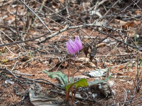 5月ですので例年通りカタクリの花も咲き始めましたが・・