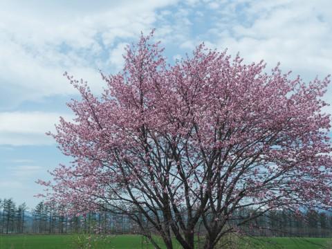 世間は自粛ムードですが・・村道沿いの一本桜は元気に満開!