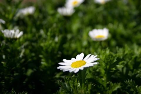 春花壇に是非使っていただきたいクリサンセマム