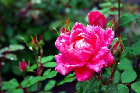 バラを植えよう!!