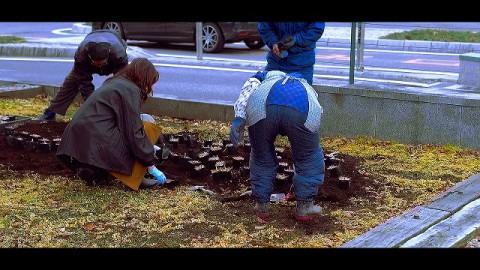 寒空の下、クロユリを植える!