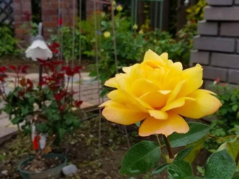 お待ちかねのバラ咲きましたよ!