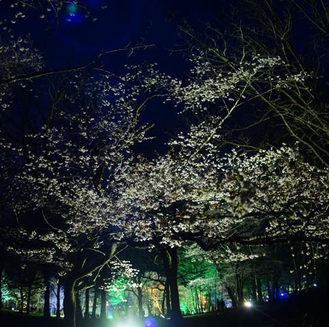 夜桜ライトアップ すずらん公園 2016/5/5