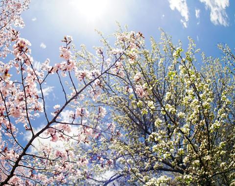 すずらん公園 桜と蝦夷の子林檎の花の競演
