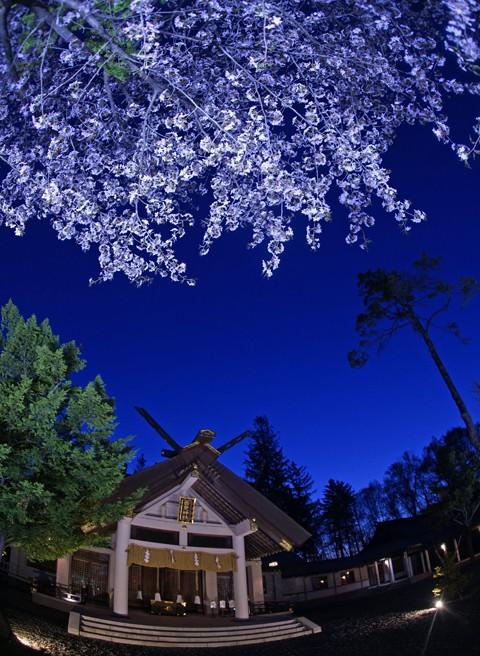 音更神社 夜桜ライトアップ