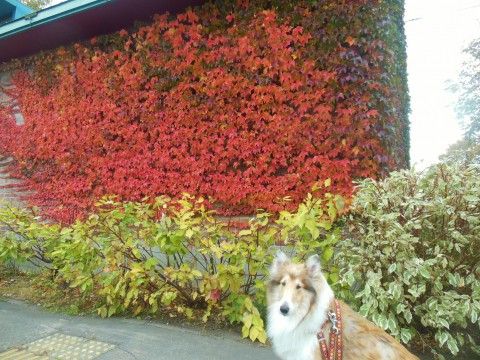 看板犬ビスと紅葉狩り。