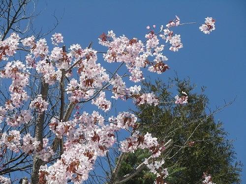 庭の桜 たぶん エゾヤマザクラ