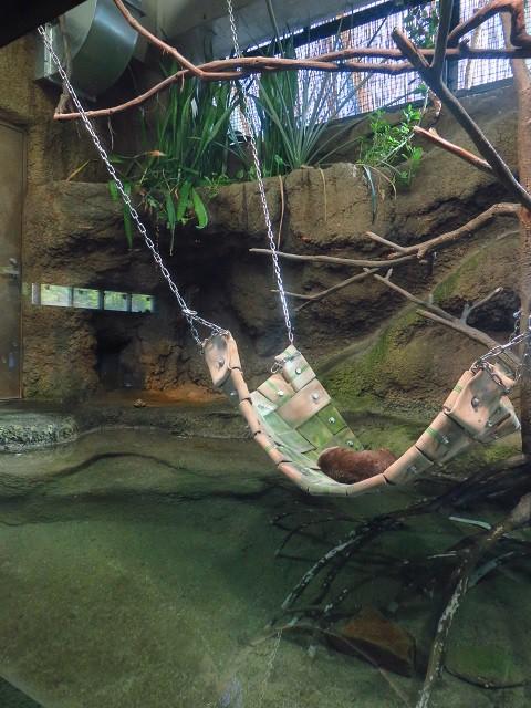 コツメカワウソ 円山動物園