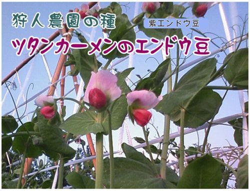 ツタンカーメンのエンドウ豆愛知県の小学校へ