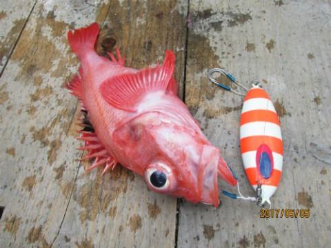 中深海でキンキ釣る