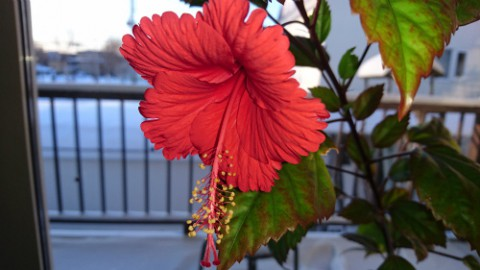 雪国に南国の花咲く