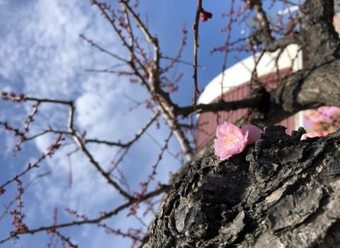 札幌の梅✿