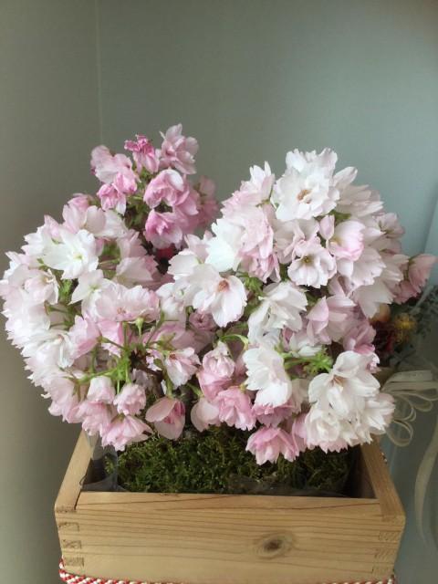 13周年のお祝いと桜の開花❤