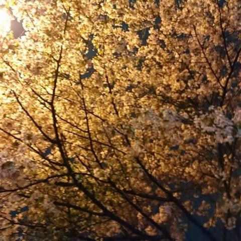 雨の中の夜桜