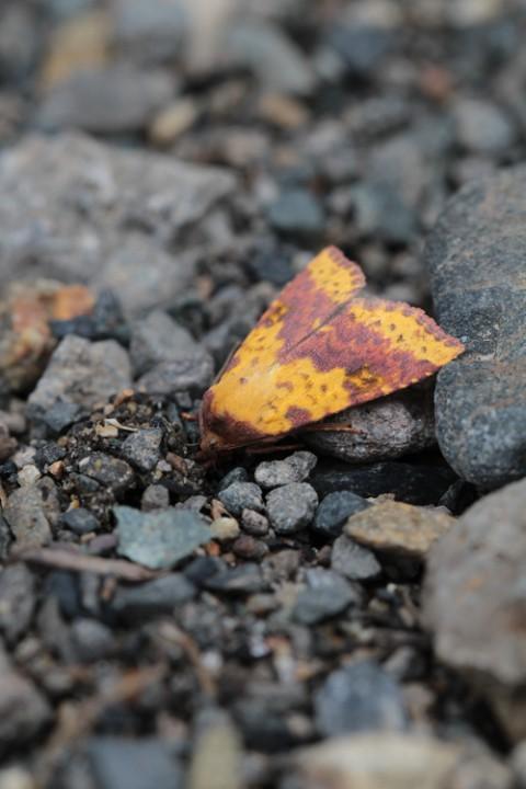 キイロキリガは 秋を纏う