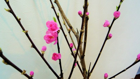 桃の花・・・