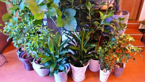 観葉植物、大量入荷!!