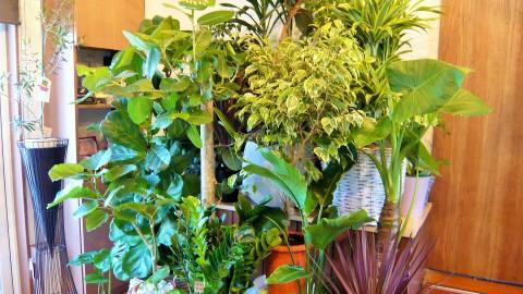 大、中、小、観葉植物、大量入荷!!