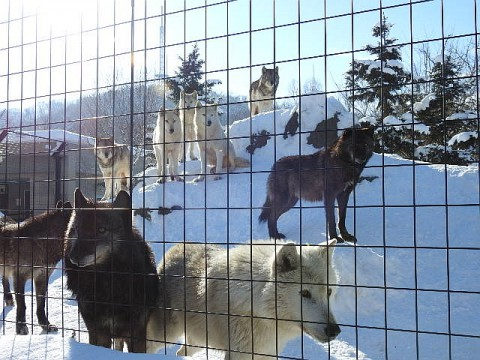 旭山 シンリンオオカミ