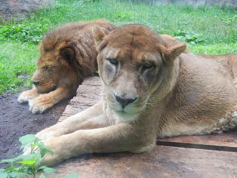 旭山 ライオン夫婦