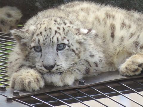 旭山ユキヒョウの赤ちゃん