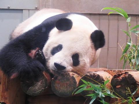 パンダたちはお昼寝タイム