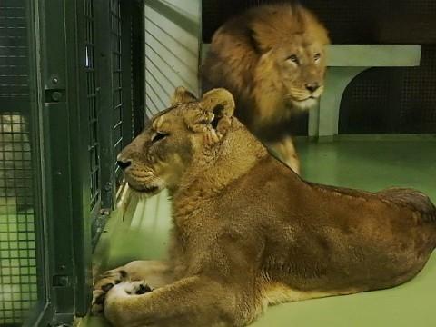 去年11月21日のライオン夫婦
