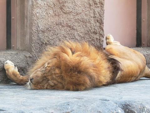 ライオンだって暑い