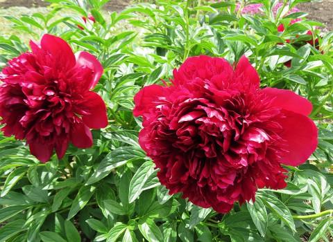 大きな花々