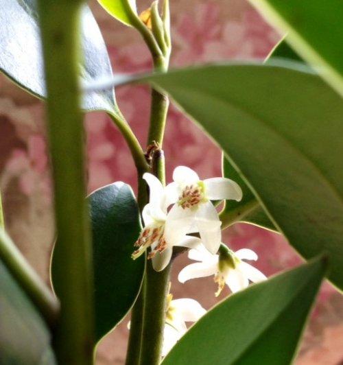 神棚の榊のお花が咲きました~