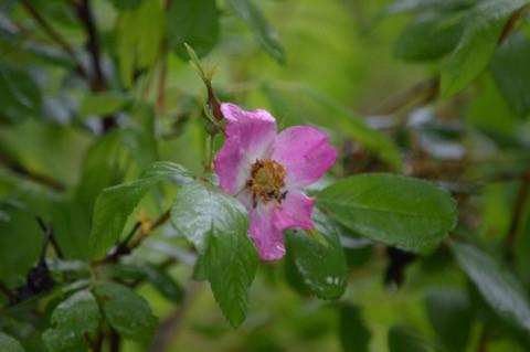雨の中でもひっそり咲いています *
