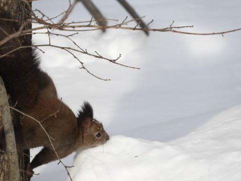 雪の中で エゾリス!