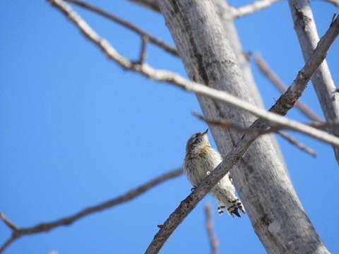 近ごろの 鳥見!にて コゲラ、ウソとか
