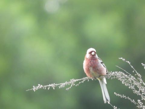 今朝の鳥 ベニマシコなど