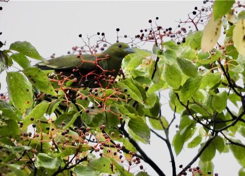 メジロのいた木にアオバトが!!