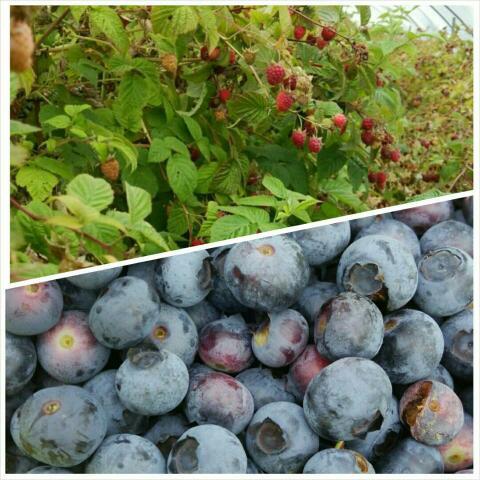 ラズベリー、ブルーベリーの摘み取り開放‼