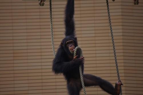 チンパンジーは暑くても元気