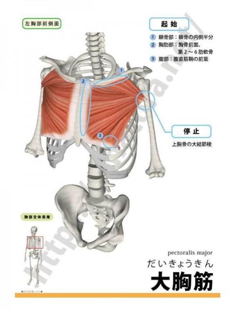 【解剖の復習】肩こり編3部作、最終回の第3弾は大胸筋です。