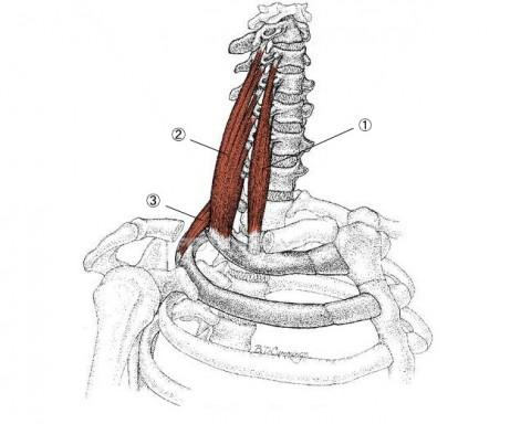 【解剖の復習】今月からは『くび、あたまの痛み編』3部作を始めます。