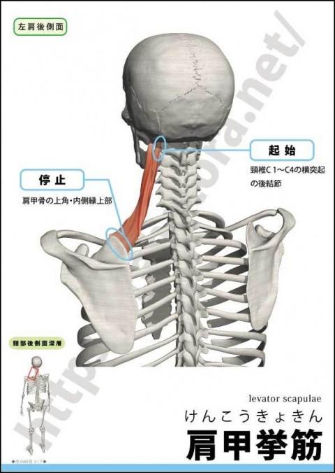 【解剖の復習】くび・あたまの痛み編、第2弾は肩甲挙筋です。