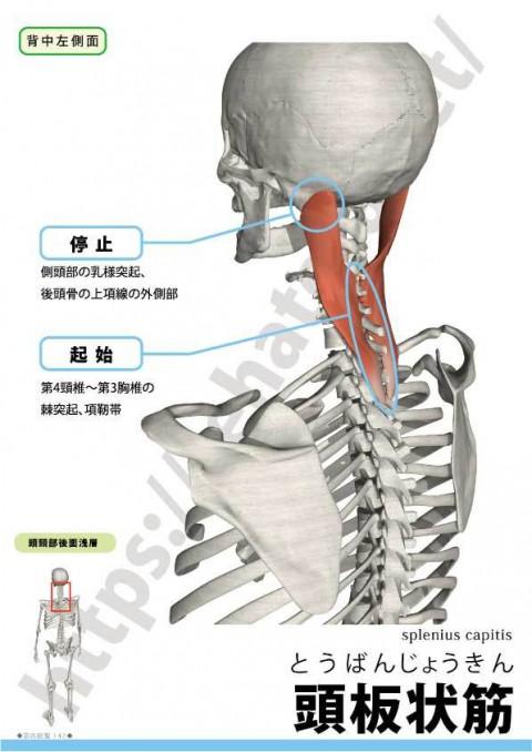 【解剖の復習】くび・あたまの痛み編、最終回第3弾は板状筋です。