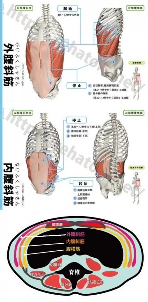 【解剖の復習】おなか編 第1弾は『腹斜筋群』です。