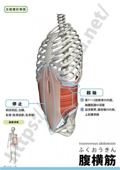 【解剖の復習】 おなか編 第3弾は『腹横筋』です。
