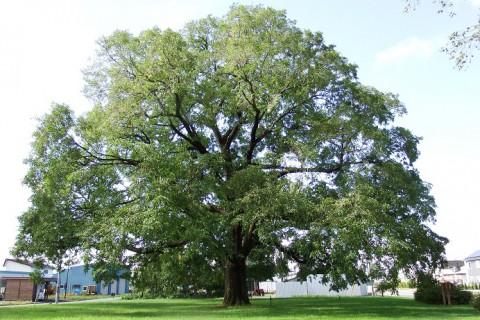 市の保存樹木第1号~稲田のハルニレ