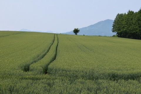芽室町の麦畑~♪